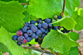 Red and Green Wine Grapes Royalty Free Stock Photography