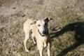 Red greyhound Royalty Free Stock Photo