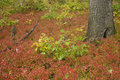 Red groundcover,fall colors in dunes state park Royalty Free Stock Photography