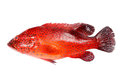 Red grouper fish Royalty Free Stock Photo