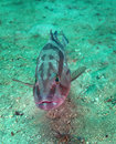 Red Grouper - Portrait Royalty Free Stock Images