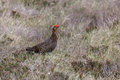 Red grouse lagopus lagopus amongst the heather Royalty Free Stock Photography