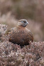 Red grouse lagopus lagopus scoticus single male on heather yorkshire march Stock Images
