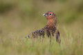 Red grouse in summer heather Royalty Free Stock Photo