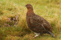Red grouse x lagopus lagopus x hunting for food in wet grassland Stock Image