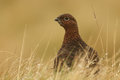 Red grouse x lagopus lagopus x hunting for food in wet grassland Royalty Free Stock Image