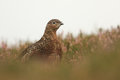 Red grouse x lagopus lagopus x in the middle of flowering heather Royalty Free Stock Image