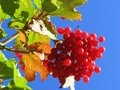 Red Guelder rose  Royalty Free Stock Photos
