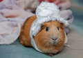 Red guinea pig wearing a winter hat. Royalty Free Stock Photo