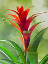 Red Guzmania flower, green background, close up. Family Bromeliaceae, subfamily Tillandsioideae Royalty Free Stock Photo