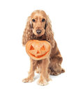 Red haired spaniel holds jack o lantern beautiful Royalty Free Stock Photos