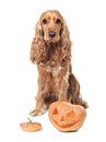 Red haired spaniel and jack o lantern beautiful Royalty Free Stock Photos