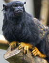 Red-handed Tamarin 1 Royalty Free Stock Photos