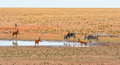Red Hartebeest and Eland Royalty Free Stock Photo