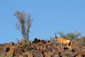 Red hartebeest landscape alcelaphus buselaphus on rocky ridge south africa Stock Photography