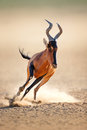 Red hartebeest running alcelaphus caama kalahari desert south africa Stock Photography