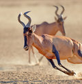 Red hartebeest running close up on the run alcelaphus caama kalahari desert south africa Royalty Free Stock Photo