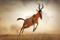 Red hartebeest running in dust alcelaphus caama kalahari desert south africa Royalty Free Stock Photos