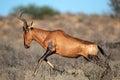 Red hartebeest sprinting alcelaphus buselaphus kalahari desert south africa Royalty Free Stock Photo