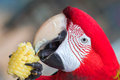 Red-headed parrot eating corn Royalty Free Stock Photo