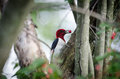 Red headed woodpecker eating berries in a tree Stock Photography