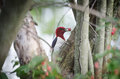 Red headed woodpecker eating berries in a tree Royalty Free Stock Photography