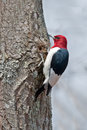 Red headed woodpecker scaling a tree Royalty Free Stock Image