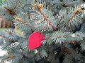 Red heart on the branches spruce, summer