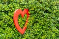 Red Heart shaped in the bush of tree Royalty Free Stock Photo