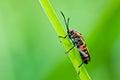 Red Hemiptera In Green Nature