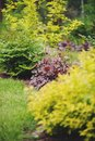 Red heuchera `Chocolate Ruffles` planted in mixed border Royalty Free Stock Photo