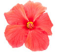 Red hibiscus Royalty Free Stock Photos