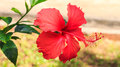Red Hibiscus. Royalty Free Stock Images