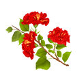 Red hibiscus branch tropical flowers on a white background vintage botanical vector illustration