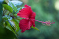 Red hibiscus this is a close up of flower bright flower is situated against the green leaves background Stock Photo