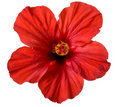 Red hibiscus flower Royalty Free Stock Photo