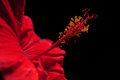 Red hibiscus flower on black background Royalty Free Stock Photo