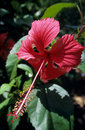 Red hibiscus flower and foliage Stock Photo