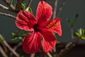 Red hibiscus flower fully open Royalty Free Stock Photos
