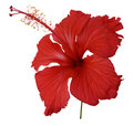 Red hibiscus flower isolated Royalty Free Stock Photo