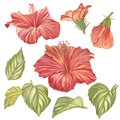 Red hibiscus flower isolated on white background. Watercolor tropical flower realistic colorful hibiscus with leaves Royalty Free Stock Photo