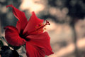 Red Hibiscus Flower Nature Photography Royalty Free Stock Photo