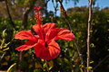 Red hibiscus flower pointing at the sun Royalty Free Stock Photography