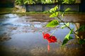 Rice field Bali, red hibiscus Royalty Free Stock Photo