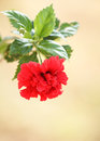 Red hibiscus flower on tree Stock Photos