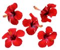Red hibiscus flowers. Isolated. Royalty Free Stock Photo