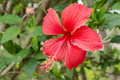 Red hibiscus flowers shallow dof background Royalty Free Stock Images