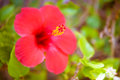 Red hibiscus flowers in summer garden Stock Photography