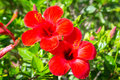 Red hibiscus flowers in the tropical garden egypt Royalty Free Stock Photos