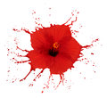 Red hibiscus with splashes Royalty Free Stock Photo